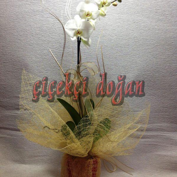 cido_orkide_tekli